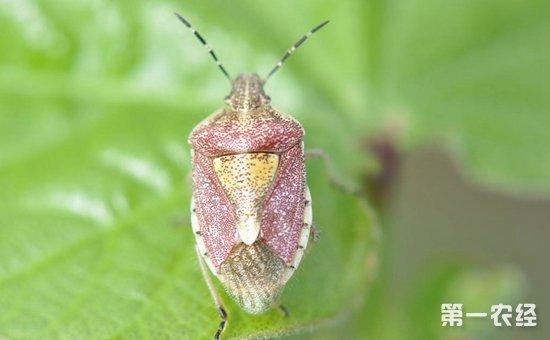 山药虫害有哪些?山药常见虫害的为害特点和防治方法
