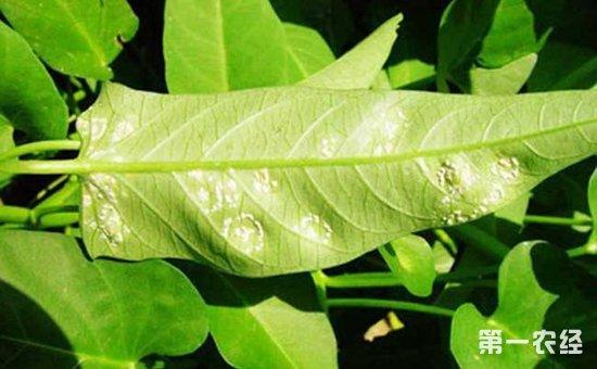 空心菜白锈病怎么防治?空心菜白锈病的危害症状和防治方法