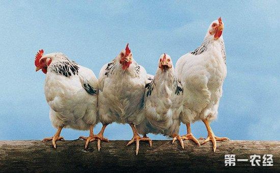 2017年6月16日最新鸡蛋价格行情 淘汰鸡价格行情 白羽肉毛鸡价格行情