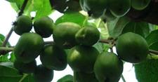 软枣猕猴桃怎么种植?软枣猕猴桃种植技术