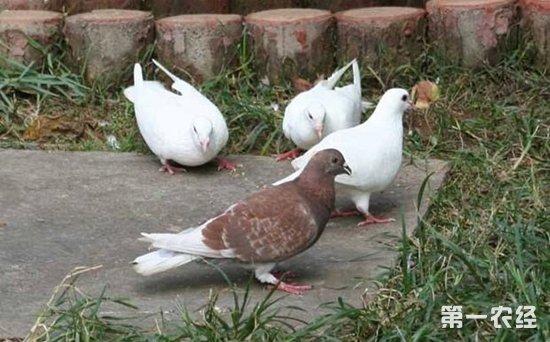 新手养鸽子养几只适宜 鸽子怎么养才不会飞走图片