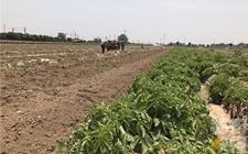 """西安市残疾人种出""""土豆王"""" 却遭遇20多亩10多万斤土豆滞销"""