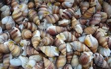 海螺丝多少钱一斤?海螺丝有毒吗?