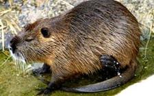 海狸鼠养殖 海狸鼠养殖的注意事项