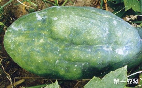 冬瓜受病害侵染怎么办?冬瓜主要病害的危害症状和防治方法