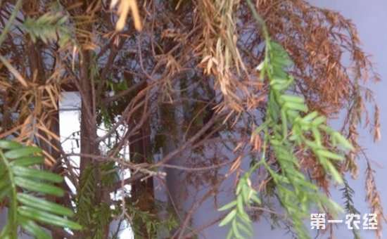 红豆杉叶子发黄怎么办?红豆杉叶子发黄的原因和解决方法
