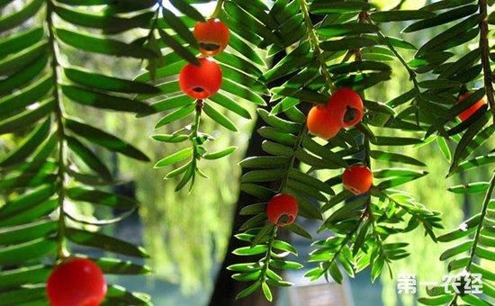盆栽红豆杉怎么养?盆栽红豆杉的养殖方法和注意事项