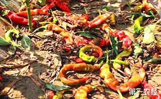 辣椒落花落果的原因和应对方法介绍!