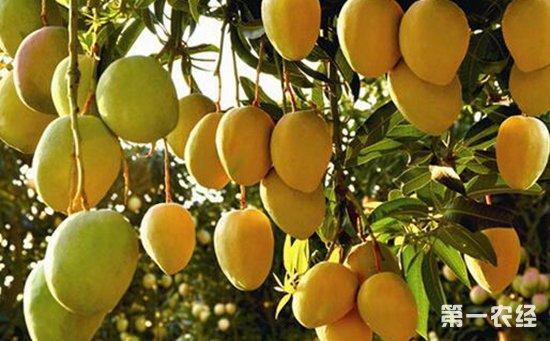 芒果树种植:芒果树种植的保花保果技术