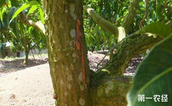 芒果树流胶病怎么防治?芒果树流胶病的为害症状和防治方法