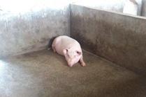 如何防治猪痢疾