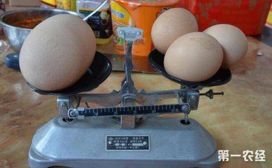 活久见!比鹅蛋还大的鸡蛋你见过吗?