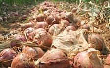 河南上亿斤洋葱遭遇滞销困境 菜农急盼收购商前来购买