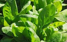 菠菜种植怎么施肥好?春夏秋三季菠菜的施肥技