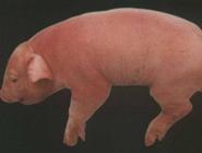 猪流行性乙型脑炎如何防治