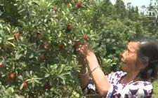 <b>湖南:四万斤杨梅滞销在树上 盼爱心人士、企业伸出援助之手</b>