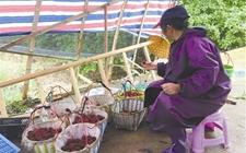 <b>台州三门连续遇上阴雨天 近30万斤杨梅若一直滞销卖不出去将烂在树上</b>