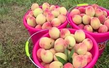 合肥:水蜜桃供过于求 150万斤滞销卖不出去