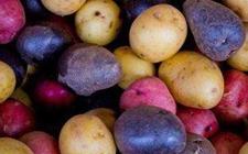 <b>台湾食药署:拟批准转基因马铃薯进口 待资料备齐后核准</b>