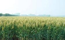 "<b>黄淮地区出现小麦新品种""百农207""</b>"