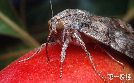 猕猴桃虫害有哪些?猕猴桃常见虫害的为害特点和防治方法