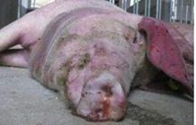 怎么防治猪附红细胞体病?