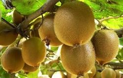 陕西:猕猴桃正成为新的增收亮点 苗木成为吴家村第二大产业