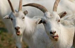 """山西寿阳贫困户把扶贫羊变成了""""致富羊"""" 让贫困户看到致富的希望"""