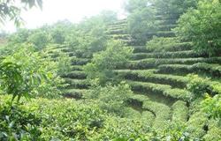 四川:茶园套种核桃实现双收益 让村民一起脱贫致富