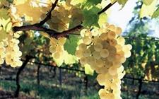 新品种北欧葡萄成熟 价格卖到每斤90多元