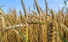 小麦种植补贴是什么?哪些人不能拿到补贴?