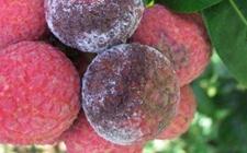荔枝病虫害有哪些?荔枝主要病虫害的危害症状和防治方法