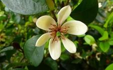 含笑花有什么养殖价值?含笑花的冬季养护技巧