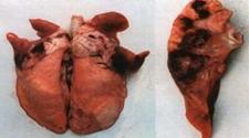 猪肺疫怎么防治