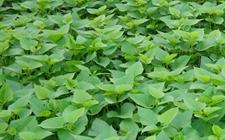 江夏法泗一农户投资20多万60亩种植的苕尖遇滞销 盼爱心人伸出援助之手
