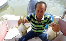 海南一老国企转型养殖金昌鱼 无奈50万斤滞销在深海网箱中