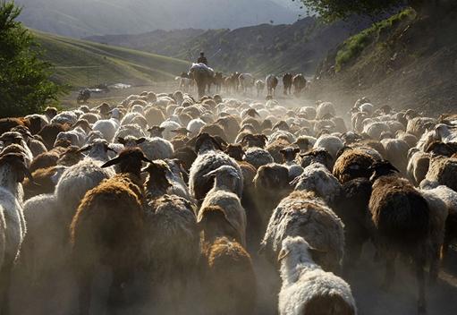 新疆牧民夏季转场时赶成千上万头牛羊 场面十分壮观