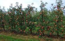 甘肃庆阳:发展林果业促进持续增收