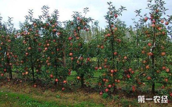 近年来,西峰区坚持以苹果为主、多果并举的产业发展方向,重点围绕林果产业供给侧改革和组团发展新思路,坚持整村、整乡、整区域推进。同时,抓好规模连片大户栽植的同时,采取无偿供苗方式帮扶贫困户培育致富产业,实现双赢。通过举办樱桃采摘节和苹果开园采摘活动,主推电商平台建设,拓宽了群众致富增收渠道。截至目前,全区共建成3个苹果基地乡镇、25个苹果重点村、55个果品专业合作社;新栽苹果树8400亩、杂果树3100亩,完成幼园提质改造6000多亩,全区林果面积达30.