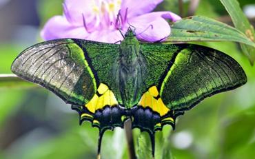 金斑喙凤蝶为什么是最名贵?