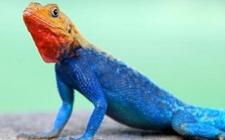 变色龙为什么会变色 变色龙怎么变色