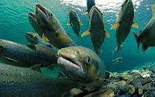 鳕鱼是海域吗 鳕鱼产地是哪里