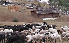 黑裘皮羊怎么养 黑裘皮羊的养殖技术