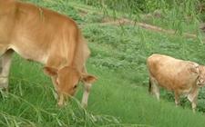 犊牛怎么养 犊牛的养殖技术