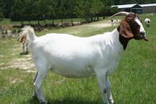 波尔山羊怎么养 波尔山羊的育肥技术