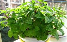 8种能够去除异味的盆栽植物介绍!给你一个持久
