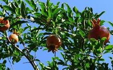 石榴树种植:夏季石榴树的施肥管理技术