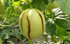 甜瓜裂果怎么办?甜瓜裂果的原因和防治方法