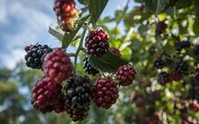 黑莓有什么功效作用?黑莓的种植技术