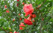 石榴树种植:石榴树种植的保花保果技术
